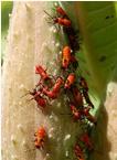 aphid invasion