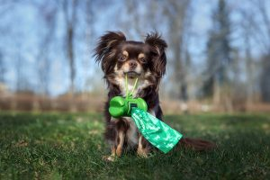 Chihuahua holding doggie waste bags in mouth