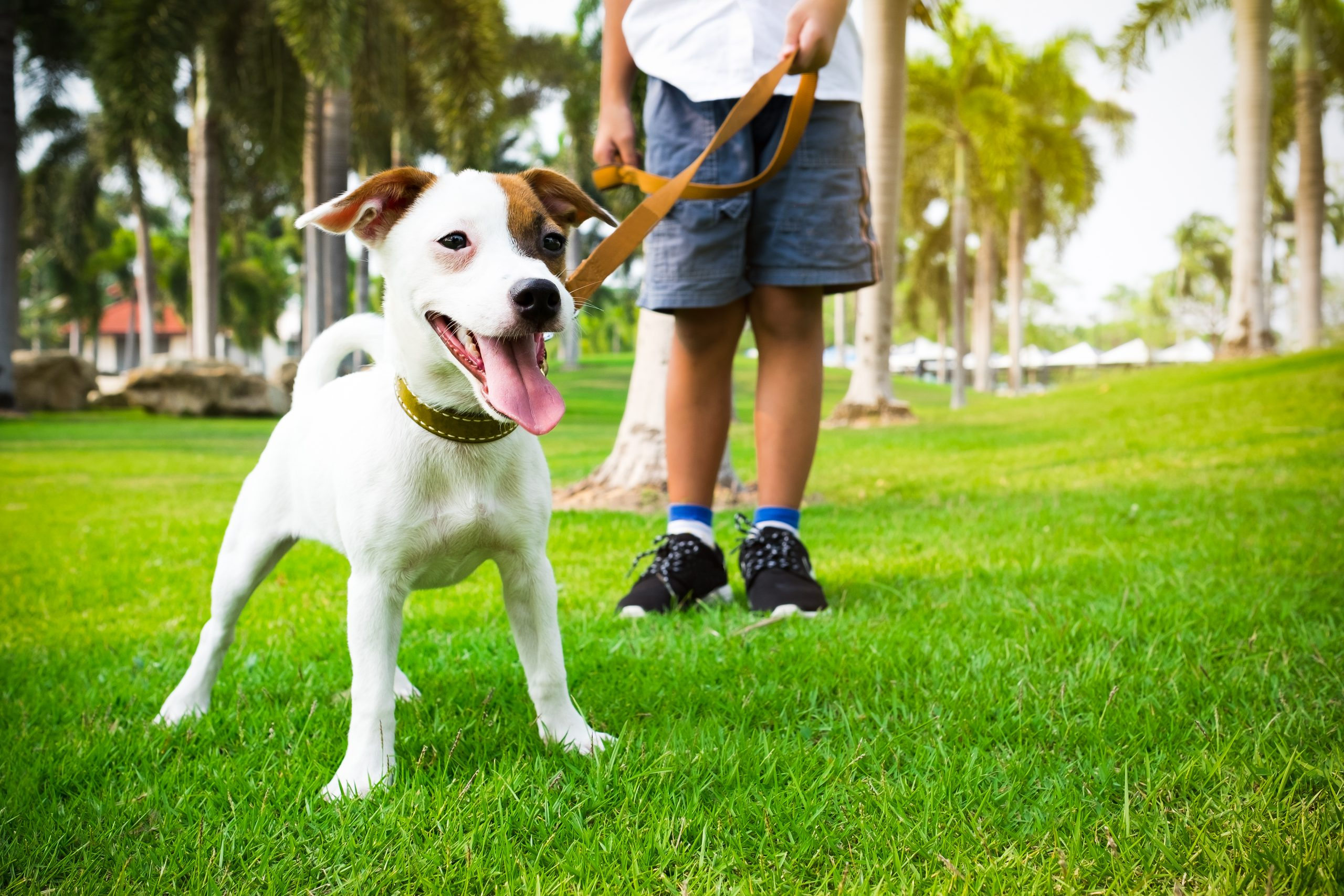 Dog smiling with tongue out. Dog is being held on a leash